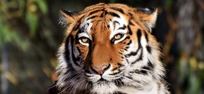 Sibirischer Tiger Teaser